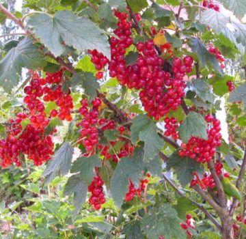 Descrierea și caracteristicile soiului de coacăze roșii Nenaglyadnaya
