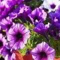 Plantar, cultivar y cuidar petunias en campo abierto.
