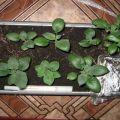 Cultivarea cartofilor din semințe acasă, plantare și îngrijire