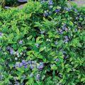 Descripción y características de la variedad de arándanos Bluecrop, plantación y cuidado.