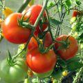 Opis a charakteristika odrody paradajok Ružový gél