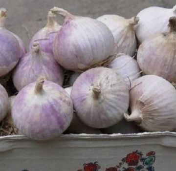 Opis zimske sorte češnjaka Skif, značajke uzgoja i prinos