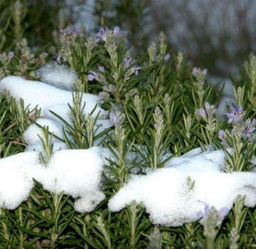 Hoe rozemarijn voor de winter te bereiden: dek af, moet je opgraven en snoeien