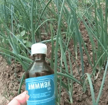 ¿Cómo verter correctamente cebollas con amoníaco de plagas y para alimentar?