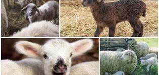 Mi a legjobb név a bárány számára, TOP 50 becenevek lányoknak és fiúknak