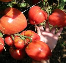Περιγραφή της ποικιλίας ντομάτας Miracle Altai, χαρακτηριστικά καλλιέργειας και φροντίδας