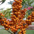 Plantar, cultivar y cuidar el espino amarillo en campo abierto