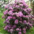 A Daursky rododendron leírása és jellemzői, ültetés és gondozás