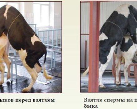 A bika spermájának felvételére vonatkozó szabályok és a sperma minőségének, valamint a tárolási feltételeknek a felmérése