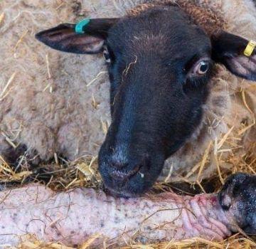 Što se može, a što ne može hraniti ovce nakon janjenja i učestalosti jedenja