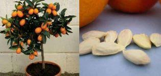 Výsadba, pestovanie a starostlivosť o pomaranč doma
