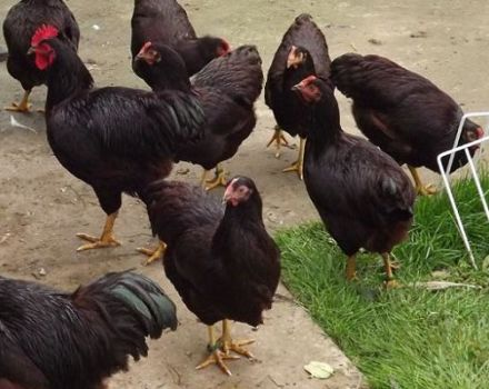 A Rhode Island-i csirkék leírása és jellemzői, tenyésztési jellemzők