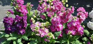 Descripción de las mejores variedades de matthiola perenne, que crece a partir de semillas.