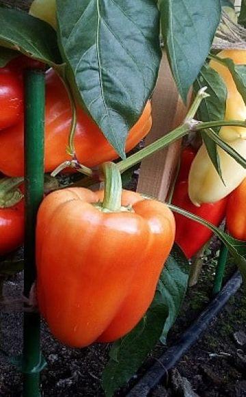 Descripción de variedades de pimiento Khalif, Antey y Flamenco, cultivo y rendimiento con foto