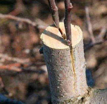 ¿Cómo y cuándo es mejor plantar una pera con esquejes frescos paso a paso para principiantes?