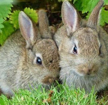 Reglas para criar conejos para carne en casa.
