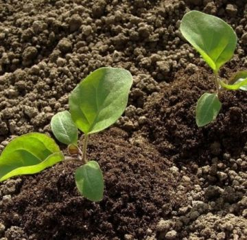Cum să crească și să îngrijească în mod corespunzător vinetele în câmp deschis, tehnologia agricolă