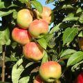 Descrierea și caracteristicile soiului de măr coloana Gin, cultivarea și recenziile grădinarilor despre cultură