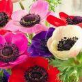Descrierea soiurilor și tipurilor de anemone, plantarea și îngrijirea în câmp deschis