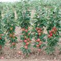 Cele mai bune și noi soiuri de măr coloranți pentru regiunea Moscova, cu o descriere