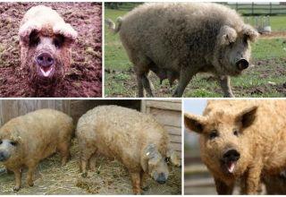 Caracteristicile unui hibrid de oaie și porc, caracteristicile și conținutul rasei