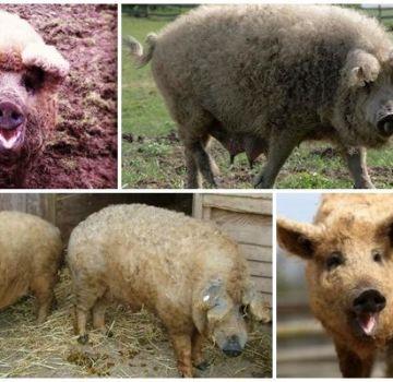 Características de un híbrido de oveja y cerdo, características y contenido de la raza.