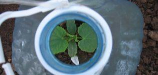 Hogyan lehet uborkat ültetni és termeszteni 5 literes palackokban