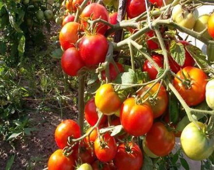 Características y descripción de las variedades de tomates chinos.