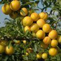 Descrierea celor mai bune soiuri de prune pentru Urali, plantarea și îngrijirea lor