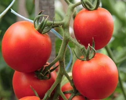 Opis odrody paradajok Tornado, jej vlastnosti a výnos