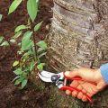 Ako bojovať a zbaviť sa ružových klíčkov v záhrade na mieste navždy svojimi vlastnými rukami
