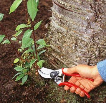 Hoe je voor altijd met je eigen handen kersenspruiten in de tuin op de site kunt bestrijden en verwijderen