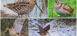 Ce fel de pasăre cu cocoș de lemn este și cum arată, habitatele și ce mănâncă