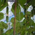Az uborka fajtájának leírása Erkély csoda, a termesztés és az ápolás jellemzői