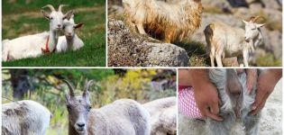 Cómo estimular a la cabra para que cace y provoque celo, cuando cubrir