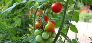 Eigenschaften und Beschreibung der Tomatensorte Sweet Girl, deren Ertrag