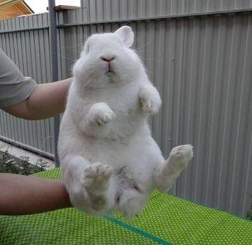 ¿Cómo se puede determinar el sexo y la edad de un conejo al comprar, métodos y tabla?