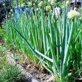Az évelő hagyma leírása és típusa, ajánlások a termesztéshez és az ápoláshoz