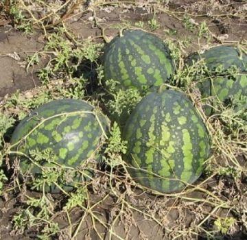 Περιγραφή της ποικιλίας καρπούζι Kholodok και χαρακτηριστικά της καλλιέργειας, συλλογής και αποθήκευσης της καλλιέργειας