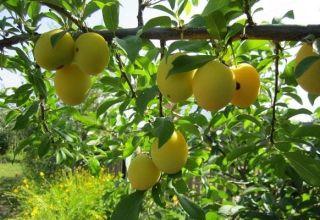 Descrierea celor mai bune soiuri de prune de cireș pentru regiunea Moscova, plantare, creștere și îngrijire
