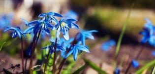 Scylla ültetése és gondozása nyílt terepen, fajok és fajták leírása