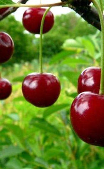 Beschrijving van de Ashinskaya-kersensoort en kenmerken van vruchtzetting, aanplant en verzorging