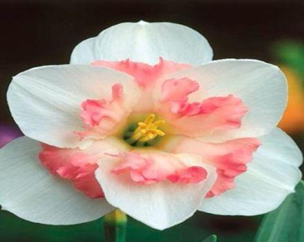 Descripción y sutilezas del cultivo de una variedad de narciso Pink Wonder.