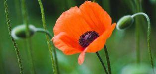 A mák fajtáinak és fajtáinak leírása, ültetése és gondozása a szabadban