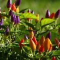 Cultivo y cuidado de pimientos ornamentales en casa.