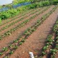 A Mittlider módszer szerinti burgonyatermesztés előnyei és hátrányai, hogyan kell helyesen ültetni