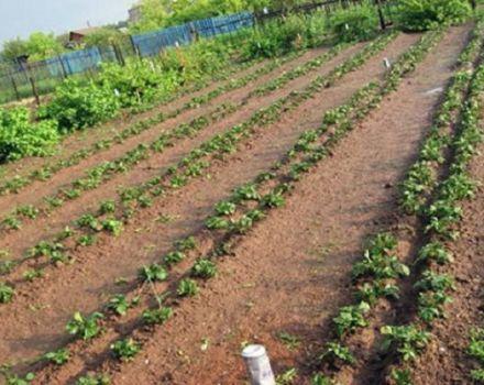 Mittlider-menetelmän mukaisten perunoiden kasvattamisen etuja ja haittoja, kuinka istuttaa oikein