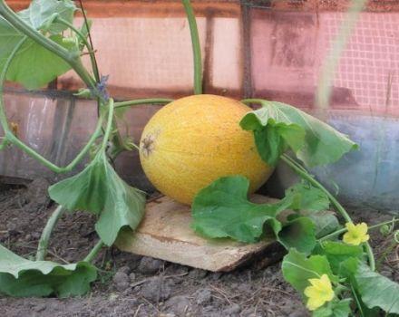 Descripción de la variedad de melón de Altai, características de cultivo y cuidado.