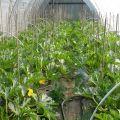 Cómo cultivar y cuidar calabacines en un invernadero de policarbonato.