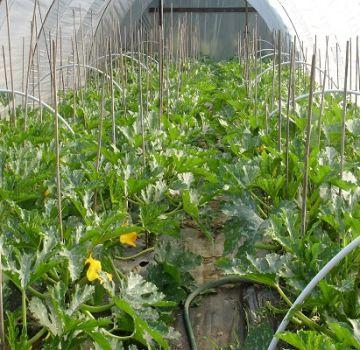 Kuinka kasvattaa ja säilyttää kesäkurpitsaa polykarbonaattikasvihuoneessa